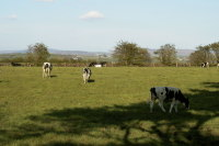 photograph of cattle grazing